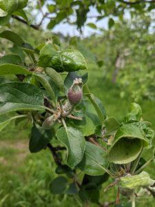 松川町りんご狩り